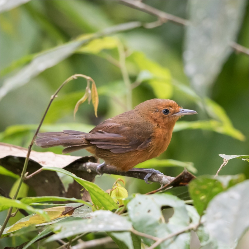 Blackish Antbird