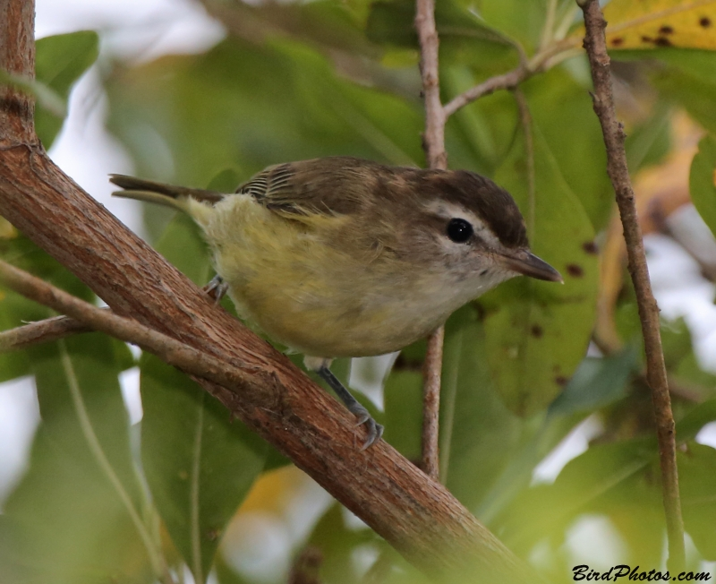Brown-capped Vireo