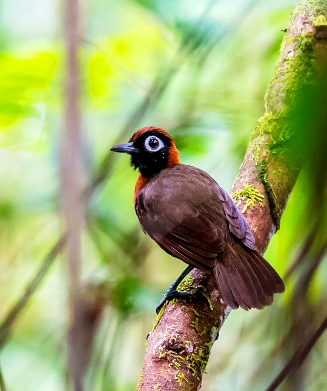 Chestnut-crested Antbird