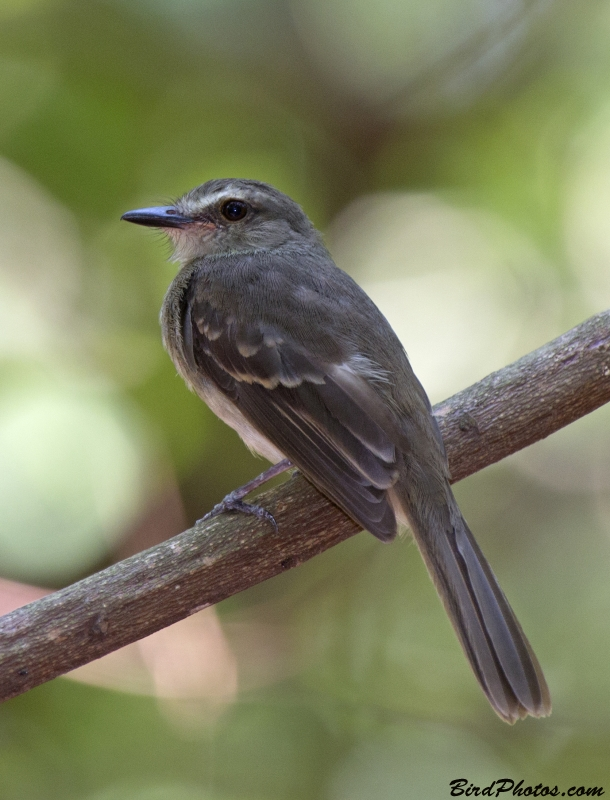 Fuscous Flycatcher