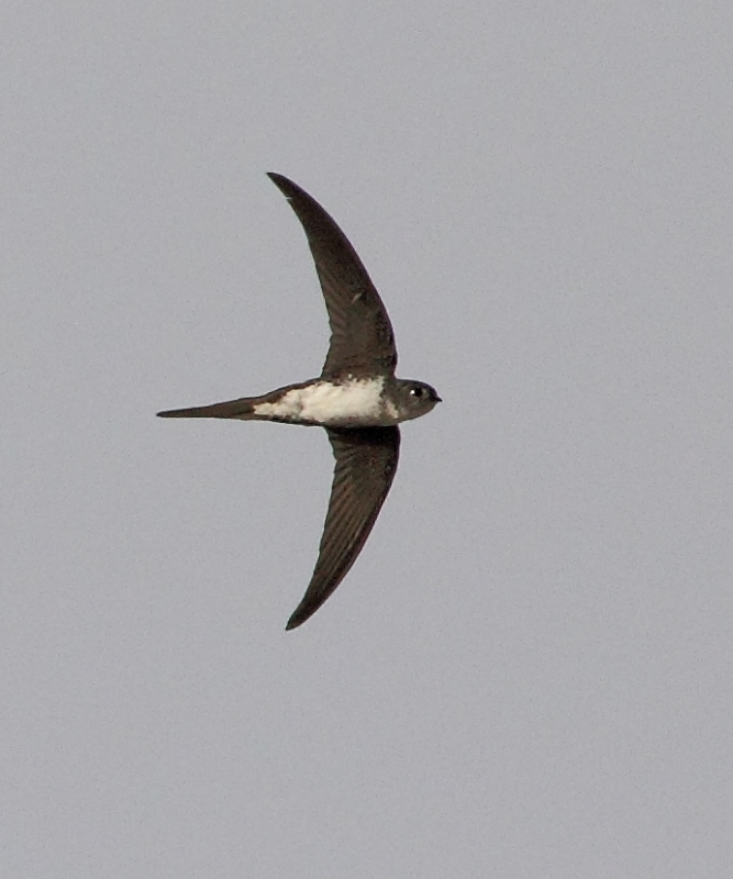 Neotropical Palm Swift