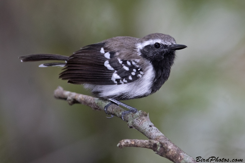 Northern White-fringed Antwren