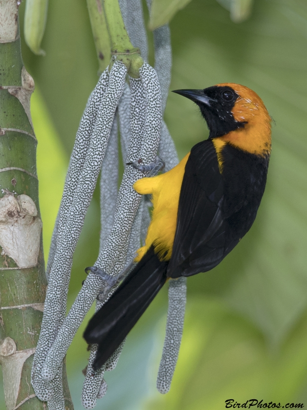 Orange-crowned Oriole