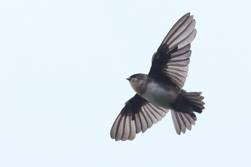 Pale-footed Swallow