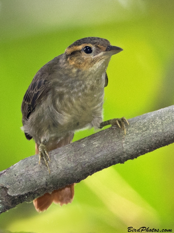 Rufous-tailed Foliage-gleaner