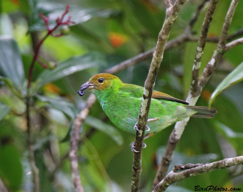 Rufous-winged Tanager