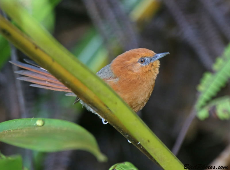Rusty-headed Spinetail