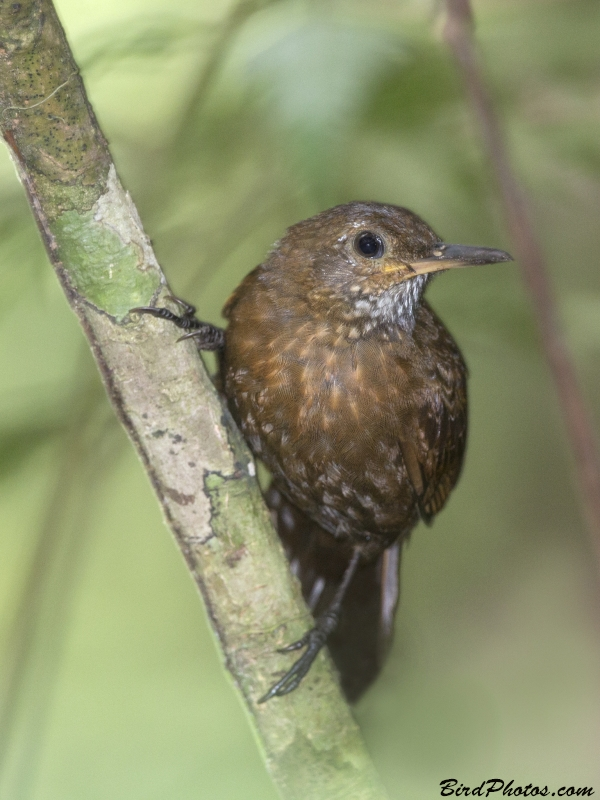 Scaly-throated Leaftosser