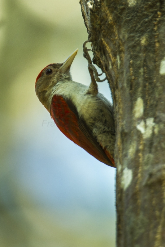 Scarlet-backed Woodpecker