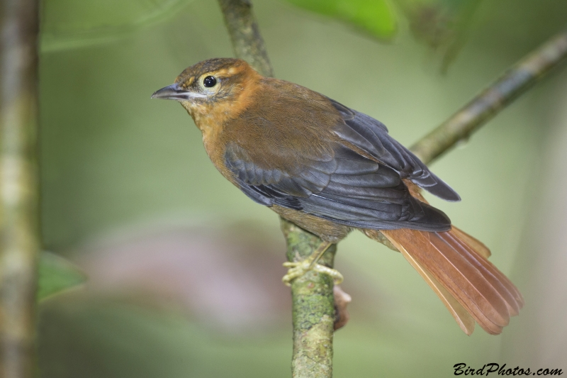Slaty-winged Foliage-gleaner