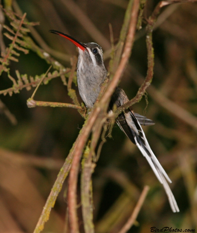 Sooty-capped Hermit