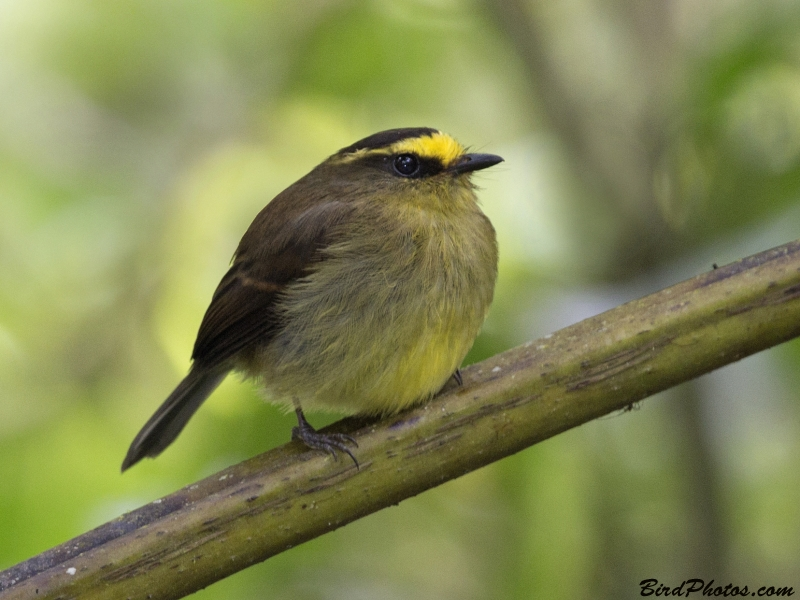 Yellow-bellied Chat-Tyrant