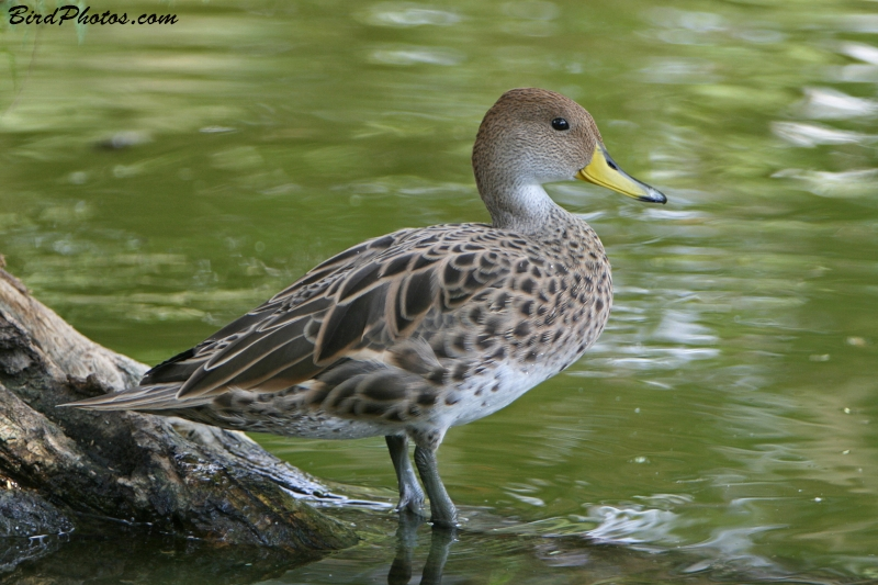Yellow-billed Pintail