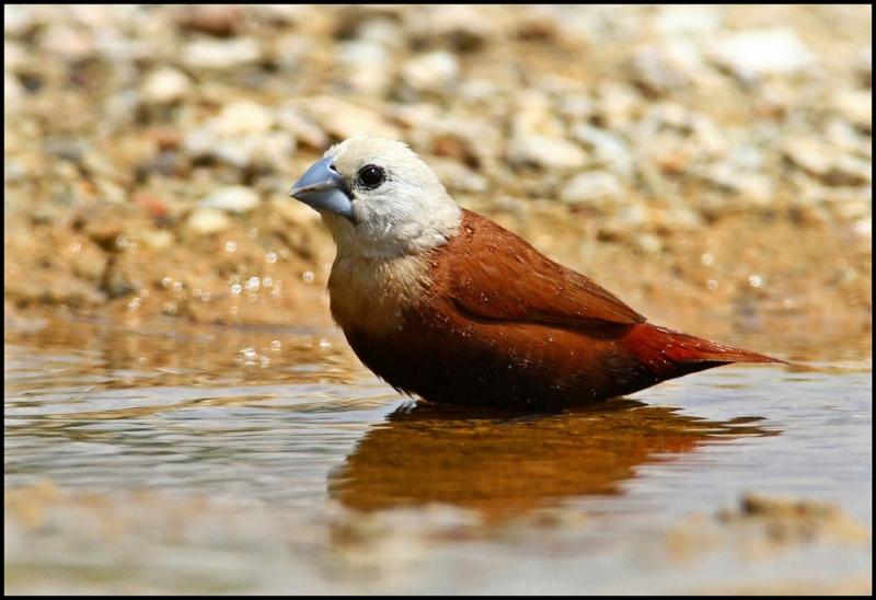 Birds Of The World Lonchura
